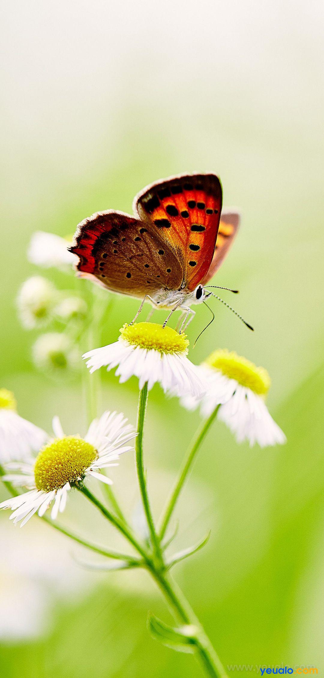 Hình nền con bướm đẹp điện thoại Samsung 6